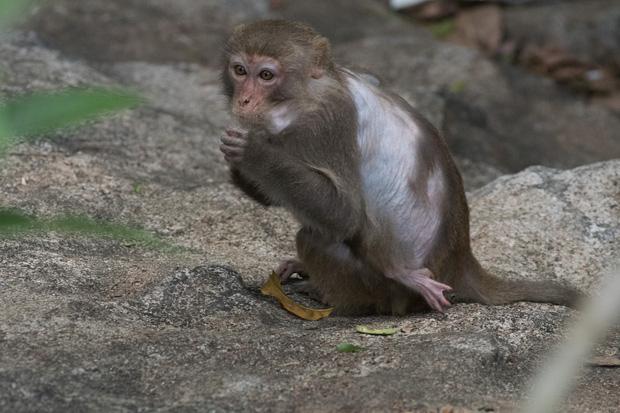 Xót xa những con khỉ cụt tay chân, hở xương tại Sơn Trà: Bị bắn phá, biết chạy về đâu? - Ảnh 9.