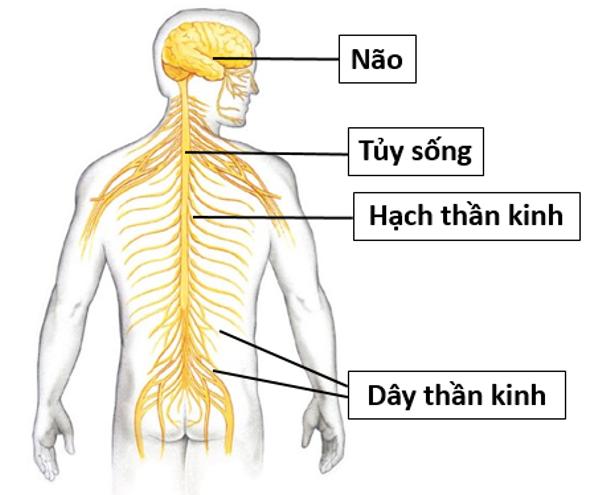 Cách nào giúp hệ thần kinh khỏe mạnh?